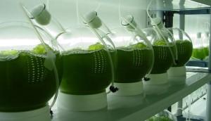 producen biogás a partir de microalgas de aguas residuales