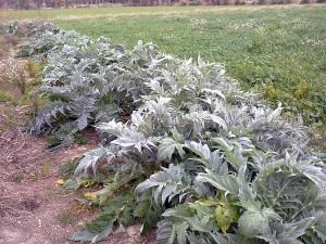 los lodos compostados han permitido producir cardo como cultivo bioenergético