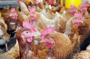 proponen valorizar como biodiésel la grasa de pollo