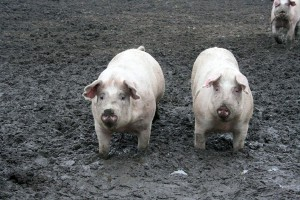 Proyecto VALPORC analiza las posibilidades de valorización de residuos porcinos