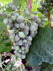 Investigan estrategias para reducir el uso de plaguicidas en viticultura