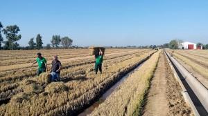 Aprovechamiento de la paja de arroz para obtener productos de interés comercial
