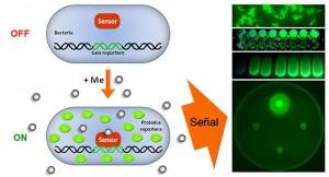 Investigadores argentinos desarrollan un biosensor en tiempo real de metales tóxicos en el agua