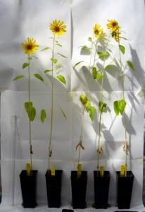 Los investigadores de la UCO destacan el gran potencial del biocarbón para mejorar el rendimiento de los suelos agrícolas