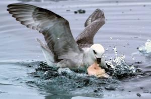 Las aves marinas confunden el plástico con alimentos