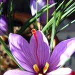 Los residuos florales de la producción de azafrán pueden utilizarse en la industria alimentaria