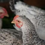 Innovación europea para valorizar los residuos de la producción aviar