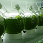 Confirman la capacidad de las microalgas para depurar biogás