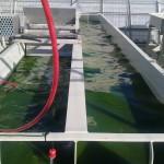 Desarrollan un método de producción de biofertilizantes a partir de microalgas cultivadas en aguas residuales