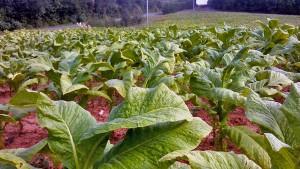 campo de tabaco