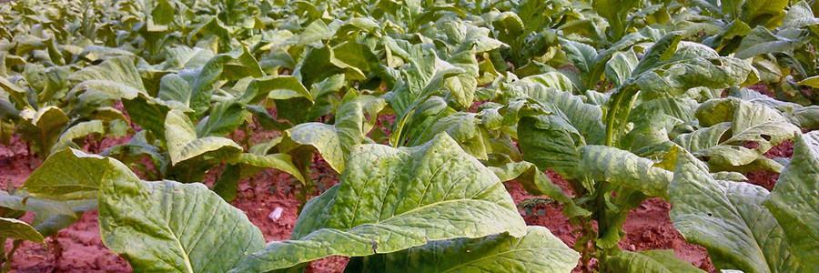 Tabaco genéticamente modificado para producir biocombustibles