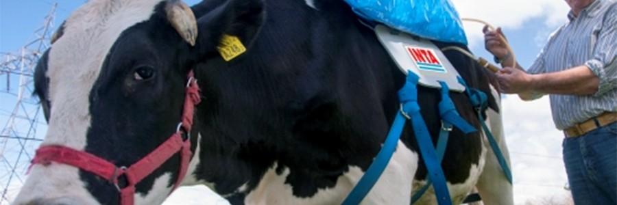 Consiguen almacenar el metano expelido por las vacas para hacer biocombustible