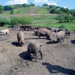 Aprobada la norma armonizada para el almacenamiento temporal de subproductos porcinos con hidrólisis