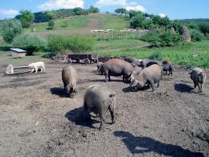 explotación porcina