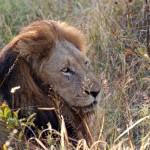 El plástico amenaza reserva natural de león asiático en La India
