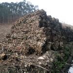 Investigan la valorización energética de residuos de eucalipto