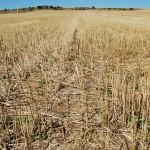 Bioetanol, bioplástico y ectoína a partir de paja de trigo