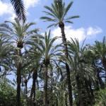 Demuestran la contribución del Palmeral de Elche frente a los efectos del cambio climático