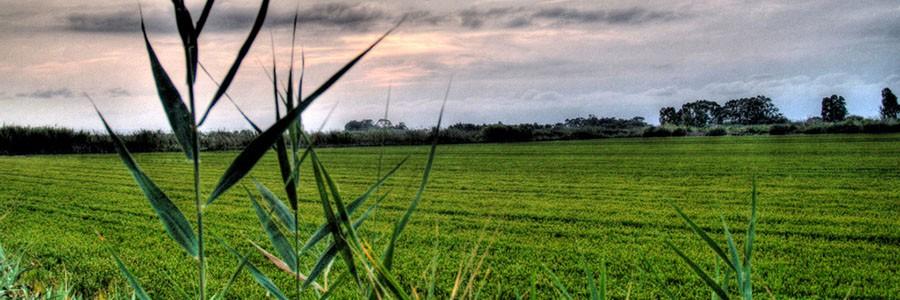 Utilizan hongos para degradar y reutilizar residuos del cultivo de arroz