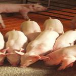 Residuos de aceite de oliva y manzana para favorecer la producción de ganado porcino