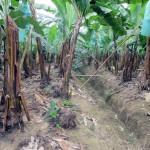 Ecuador: proyecto para obtener hidrógeno a partir de residuos de banano
