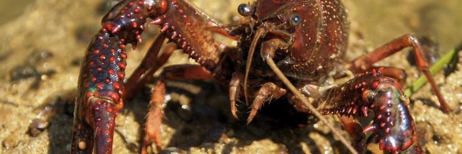 Obtienen bioplásticos a partir de residuos de cangrejo rojo del Guadalquivir
