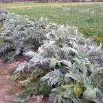 Aprovechan lodos de depuradora para producir cardo como cultivo bioenergético