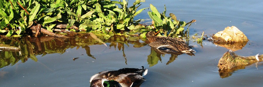 """Los humedales abastecidos con aguas residuales depuradas podrían actuar como """"trampas ecológicas"""" para las aves"""