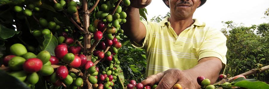 Generan energía limpia a partir de residuos de la producción de café