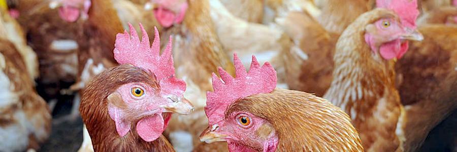 Obtienen biodiésel a partir de grasa de pollo