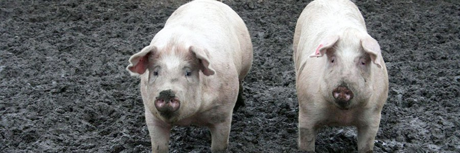 Proyecto VALPORC: valorización de residuos porcinos como biocombustible