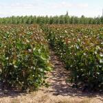 Aprovecharán purines de cerdo como fertilizante en cultivos energéticos de chopo