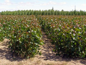 El purín de porcino se aprovechará como fertilizante en el cultivo de chopos con fines energéticos