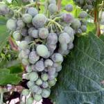 ¿Cómo reducir la presencia de residuos de plaguicidas en el vino?