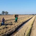 Aprovechamiento de la paja de arroz como materia prima de interés industrial