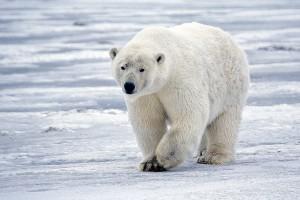 El cambio climático es la principal amenaza del oso polar, pero no la única
