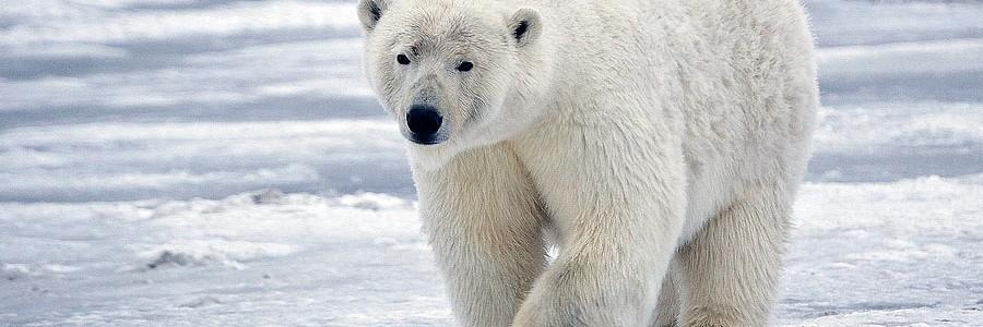 Los residuos y contaminantes también amenazan al oso polar