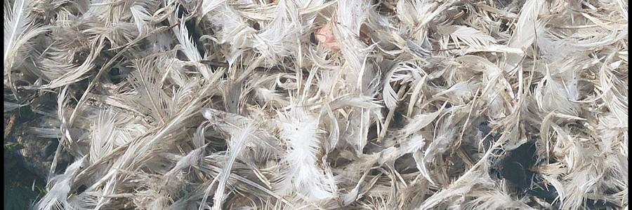 Aprovechan plumas de pollo para descontaminar el agua y el aire