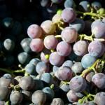 Aprovechan residuos de uva para obtener productos médicos y cosméticos