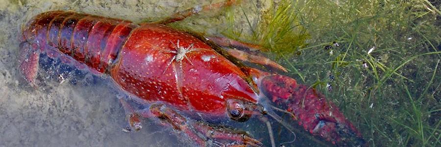 Aprovechan residuos de cangrejo para producir sensores de detección rápida de contaminantes