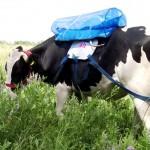 Investigadores argentinos obtienen biogás comprimido del metano generado por las vacas