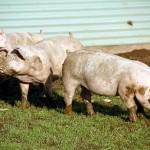 Obtienen 46.000 litros de metano a partir de 2.600 litros de purín de cerdo