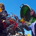 Proponen nuevas alternativas para aprovechar los subproductos de la industria vitivinícola