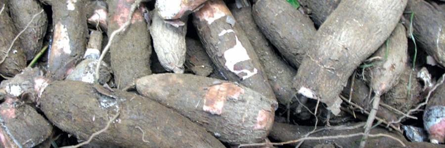 Investigadores argentinos trabajan en el primer envase biodegradable a partir de mandioca
