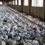 Investigadores argentinos transforman residuos avícolas en alimentos con valor proteico
