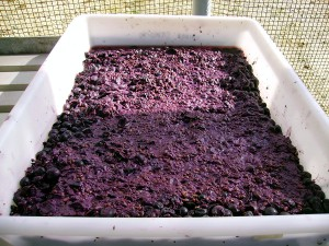 Investigadores chilenos aprovechan residuos de la producción de vino para obtener compuestos alimenticios valiosos