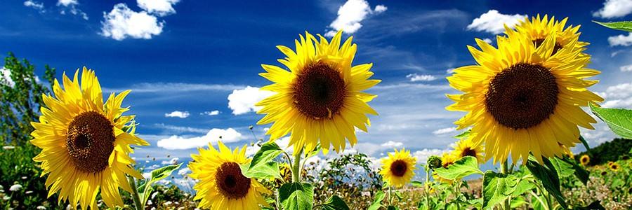 Obtienen herbicidas naturales de compuestos extraídos de la hoja de girasol