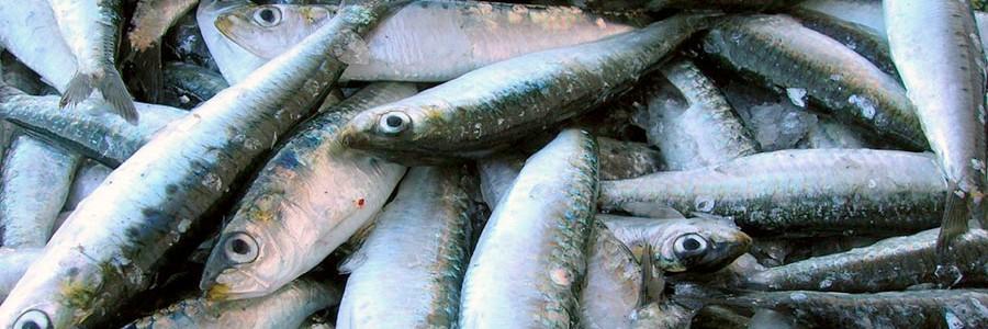 Diseñan tratamientos contra la hipertensión con residuos de pescado