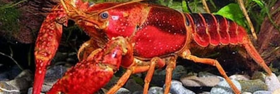 Bioplásticos a partir de residuos de cangrejo rojo americano