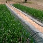 Plantas flotantes para depurar aguas contaminadas por uranio